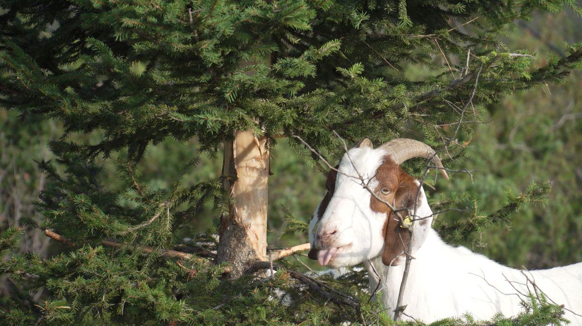 Ein Ziegenbock frisst in den Isarauen bei Lenggries die Rinde einer jungen Fichte.