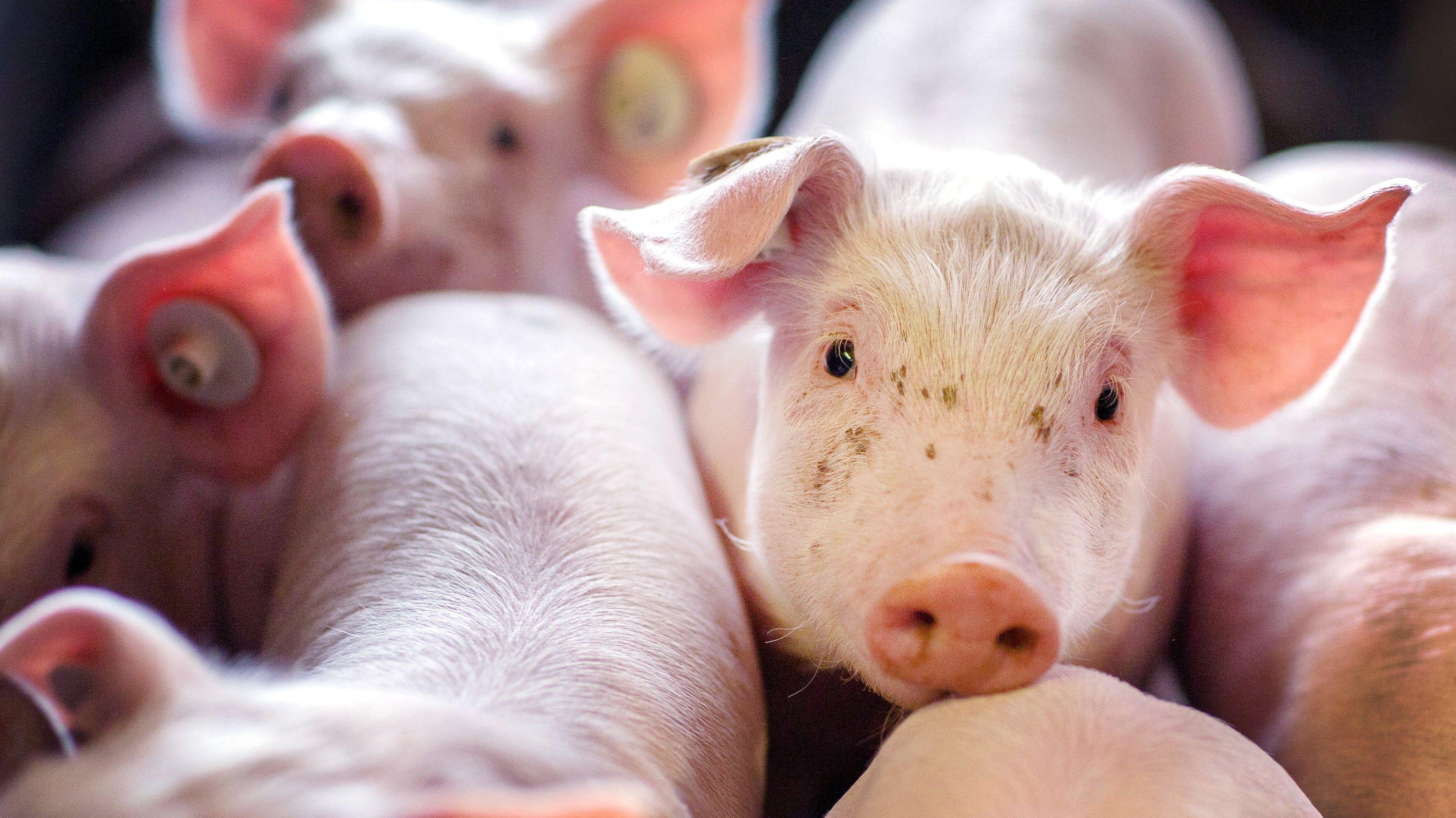 Ferkel in einer Schweinezuchtanlage (Symbolbild)