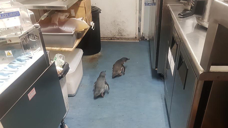 Archiv: 15.07.2019, Neuseeland, Wellington: Zwei Pinguine watscheln durch eine Sushi-Bar. /Nun sind die Tiere wieder im Stadtzentrum unterwegs.