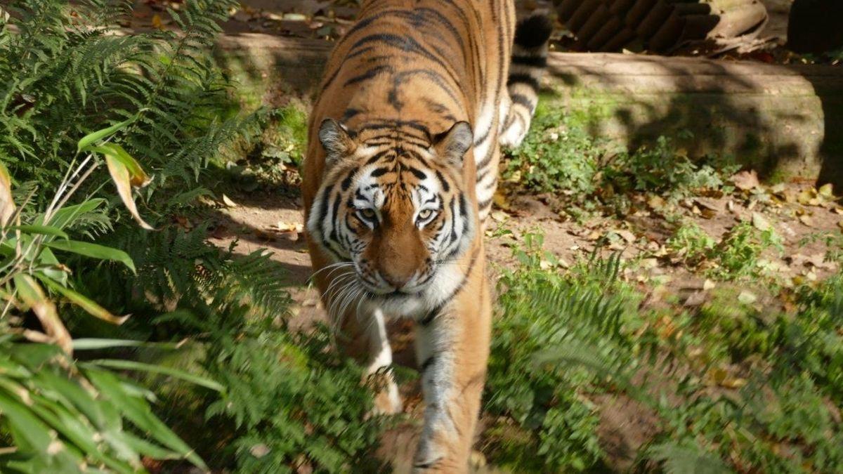 Art der Sibirischen Tiger Samur im Tiergarten Nürnberg