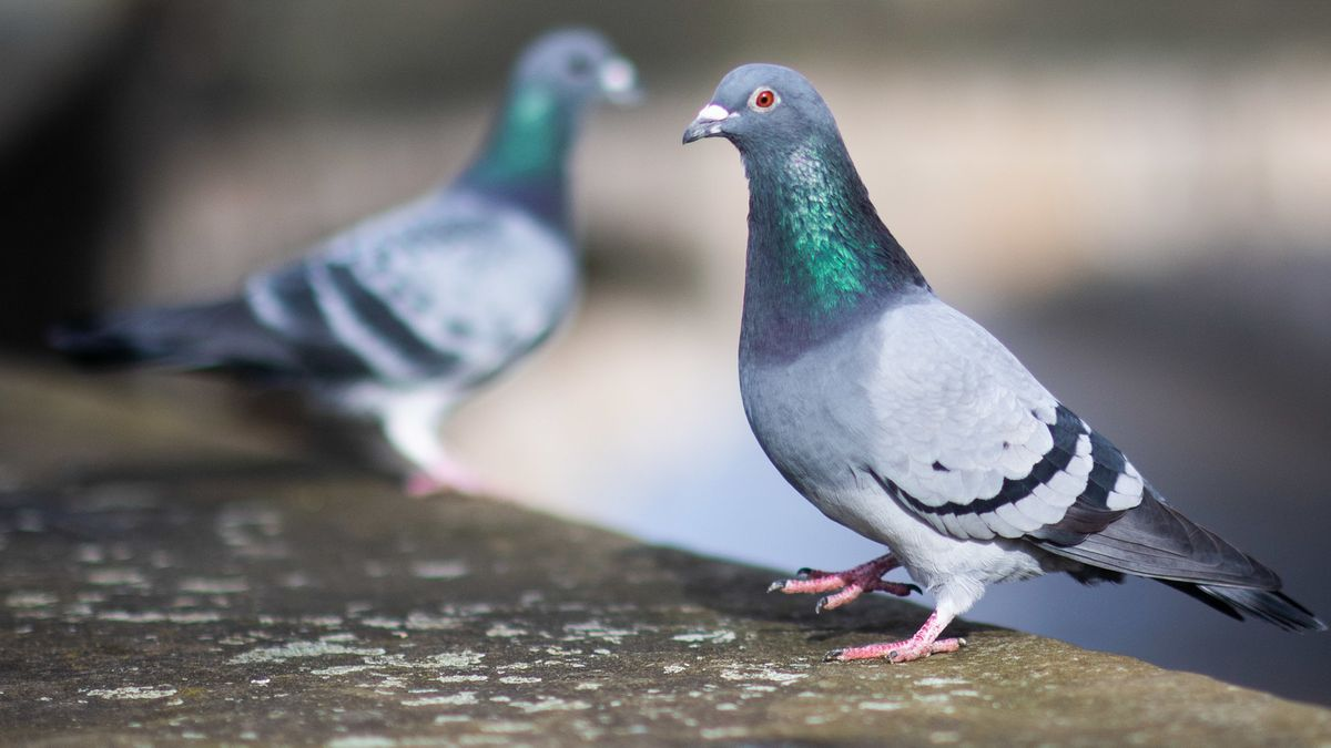Zwei Tauben sitzen auf einer Mauer