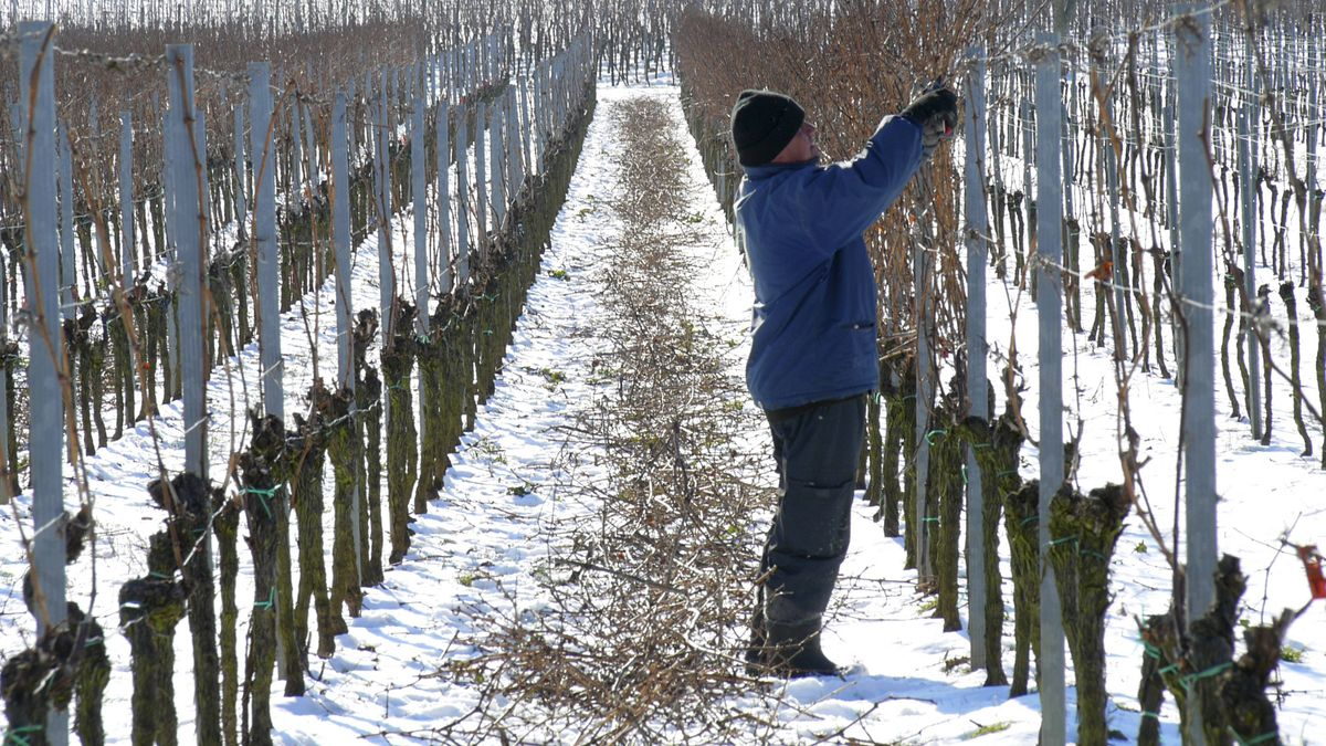 Ein Mann schneidet im Winter Weinstöcke aus (Symbolbild).