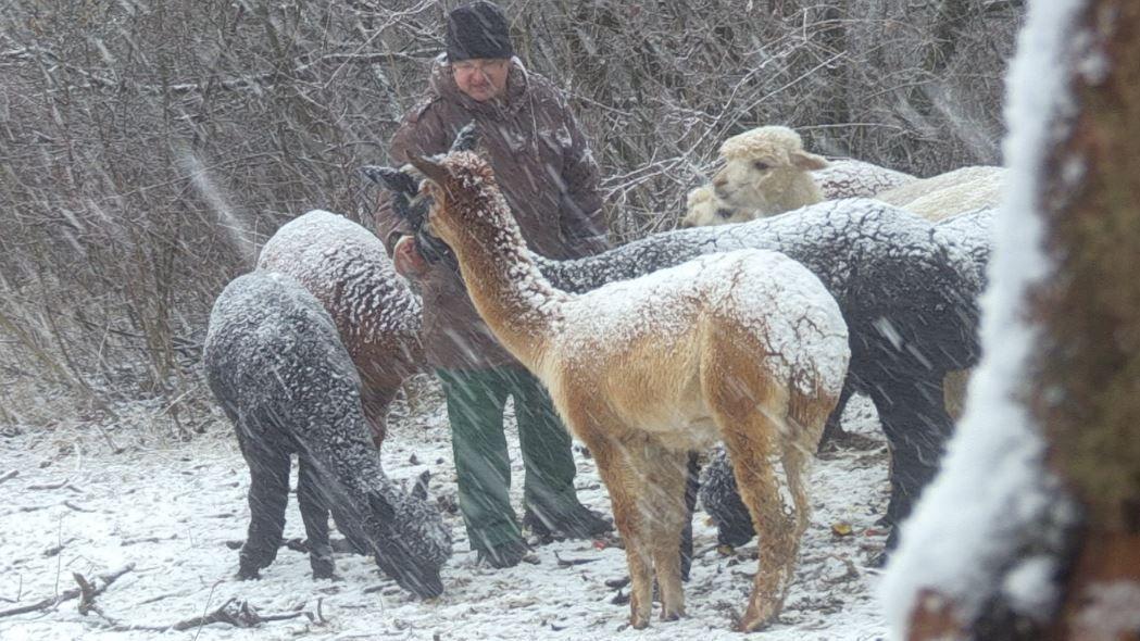 Ein Forensik-Patient im Winter bei den Alpakas