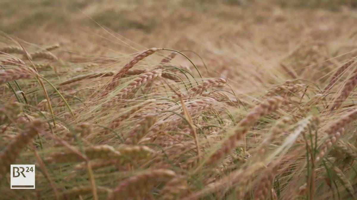 Blick auf ein Getreidefeld.