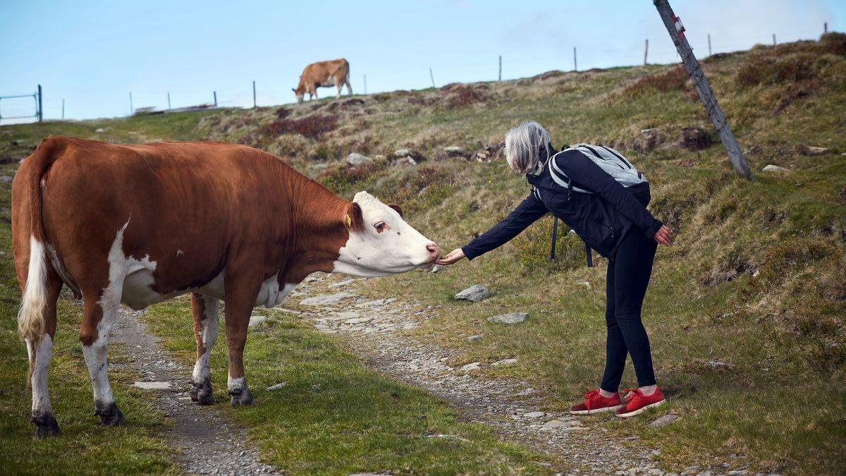 Wanderin streichelt eine Kuh.