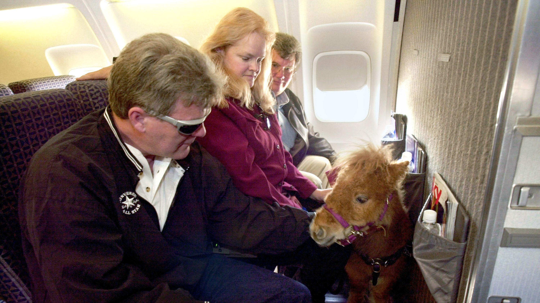 Auch Miniaturpferde dürfen in den USA manchmal in die Flugzeugkabine. (Archivbild)