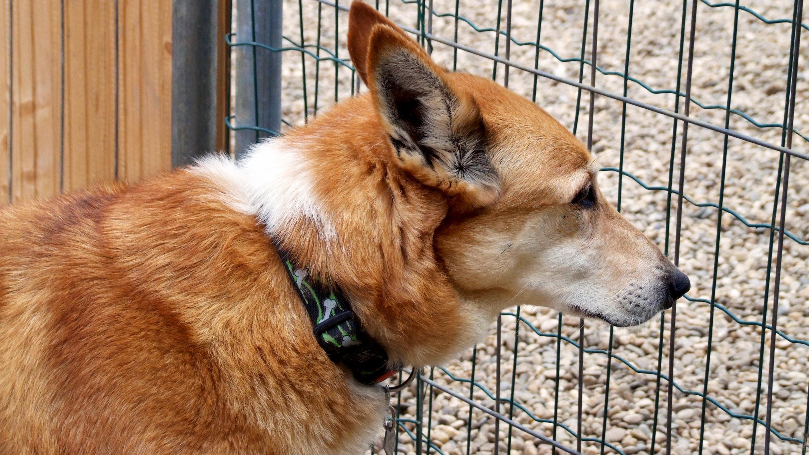 Hund schaut durch ein Drahtgitter