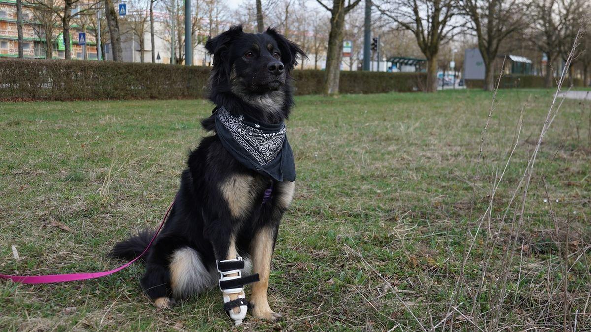 Hündin Silva hat ihre rechte Vorderpfote verloren. Eine Prothese aus dem 3D-Drucker soll ihr das Laufen und Spielen erleichtern.