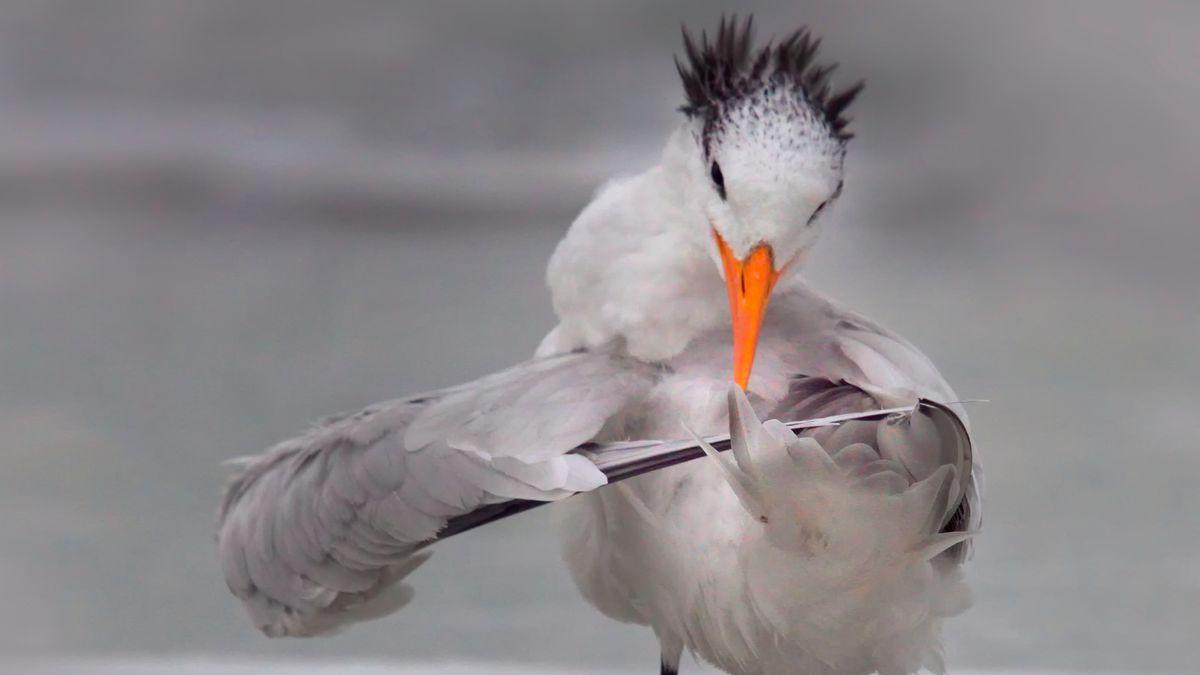 """Seeschwalbe """"stimmt ihre Federn""""."""