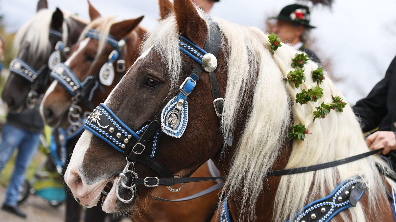 Prachtvoll aufgezäumtes Pferd mit Haarschmuck zum Leonhardiritt in Benediktbeuren