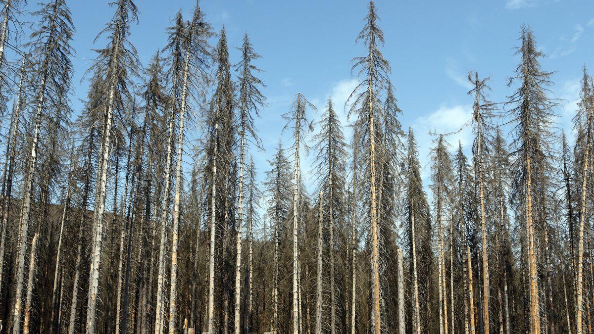 Abgestorbene Bäume aufgrund des Borkenkäferbefalls.