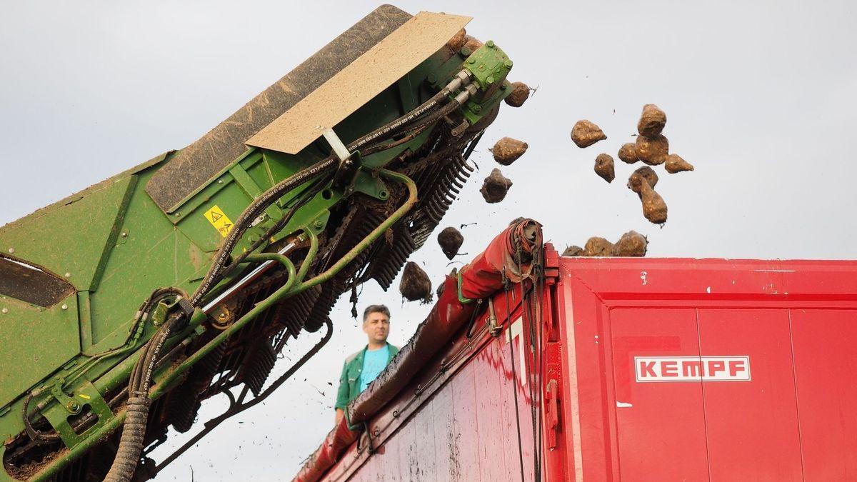 Zuckerrüben werden von einem Förderband auf einen LKW geladen.