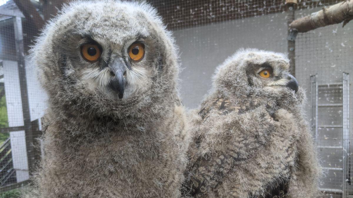 Falkner im Spessart kümmert sich um Uhu-Waisenkinder