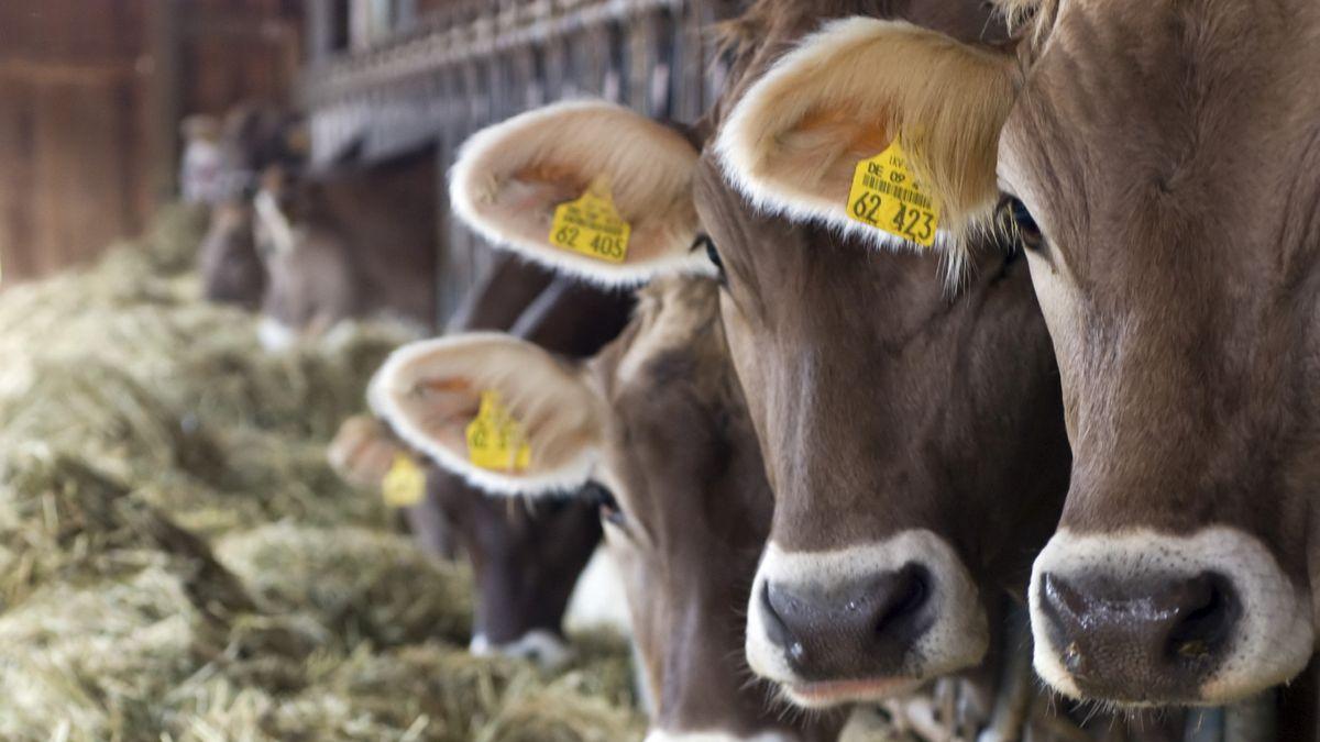 Milchkühe auf einem bayerischen Bauernhof.