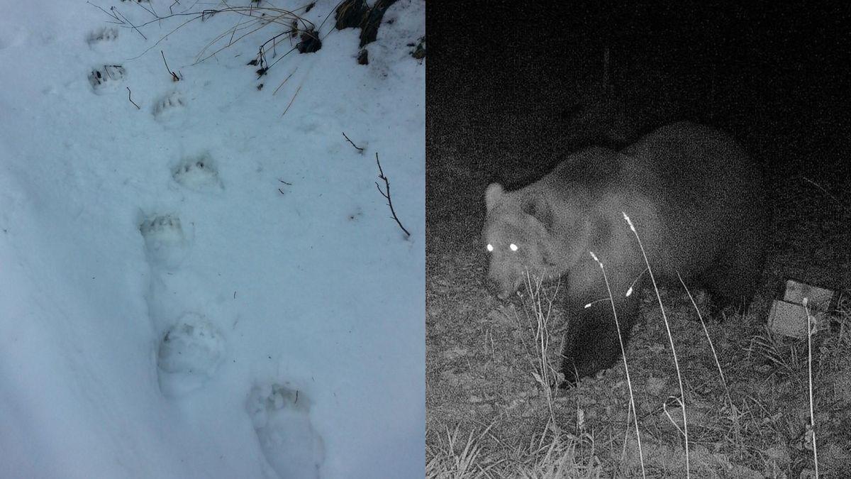 Tatzen-Spuren im Schnee - ein Braunbär ist bei Garmisch-Partenkirchen in eine Fotofalle getappt.