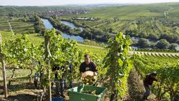 Die Weinlese in Franken geht in diesem Jahr so früh zu Ende wie nie. Auf dem Bild: Weinlese bei Köhler, im Hintergrund Nordheim am Main. | Bild:dpa picture alliance / Daniel Karmann