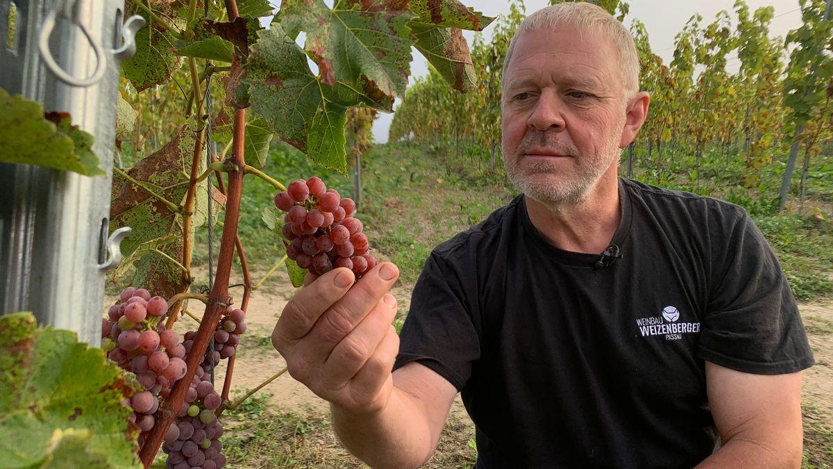 Hubert Weizenberger aus Obernzell hat sich mit seinem Weingut einen Lebenstraum erfüllt.
