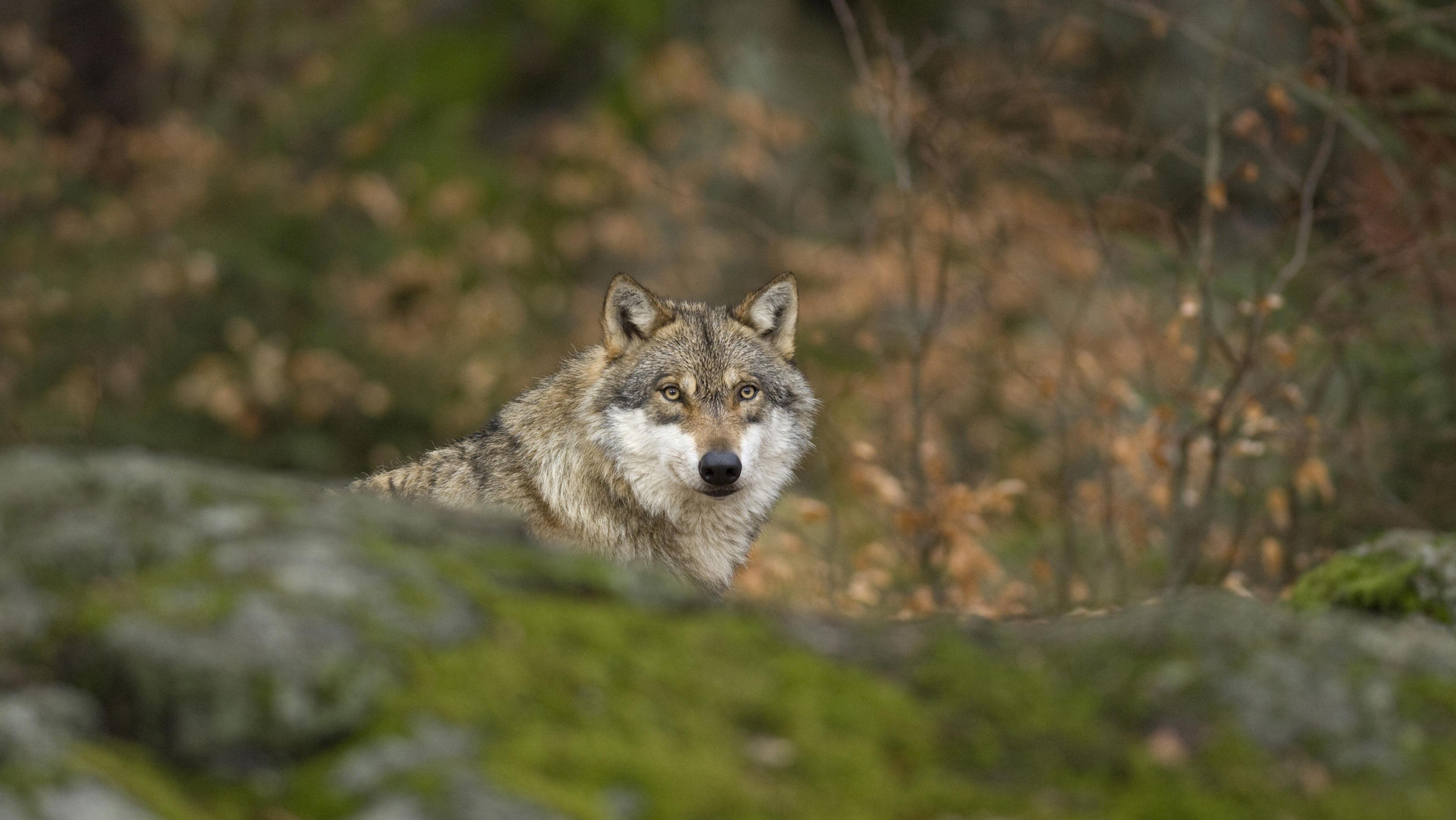 Ein Wolf im Bayerischen Wald - eines von vier offiziellen Wolfsgebieten im Freisaat.