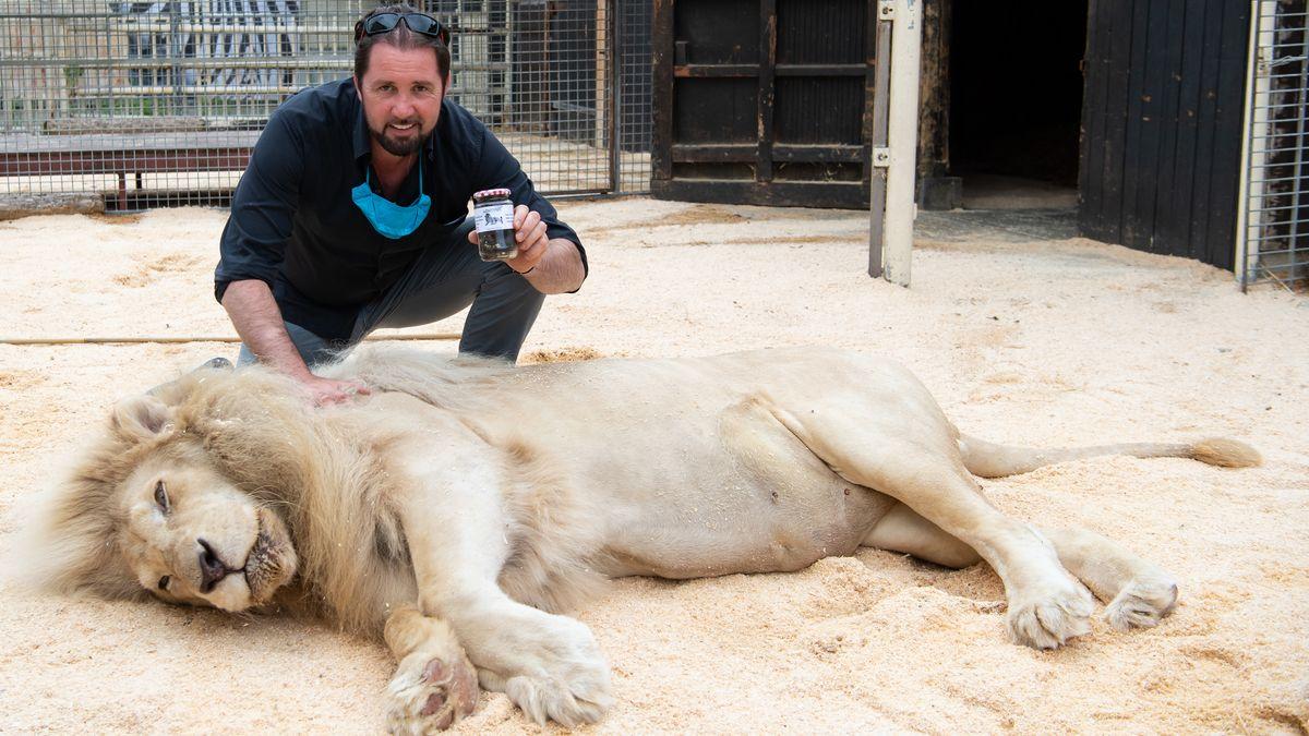 Martin Lacey, Löwen- und Tigerdompteur im Circus Krone, kniet neben seinem Löwen King Tonga und hält dabei ein Glas mit Löwenkot in den Händen, das der Circus Krone verkauft. Der Löwenkot soll zum Beispiel gegen Katzen im heimischen Garten und gegen Marder am Auto helfen.