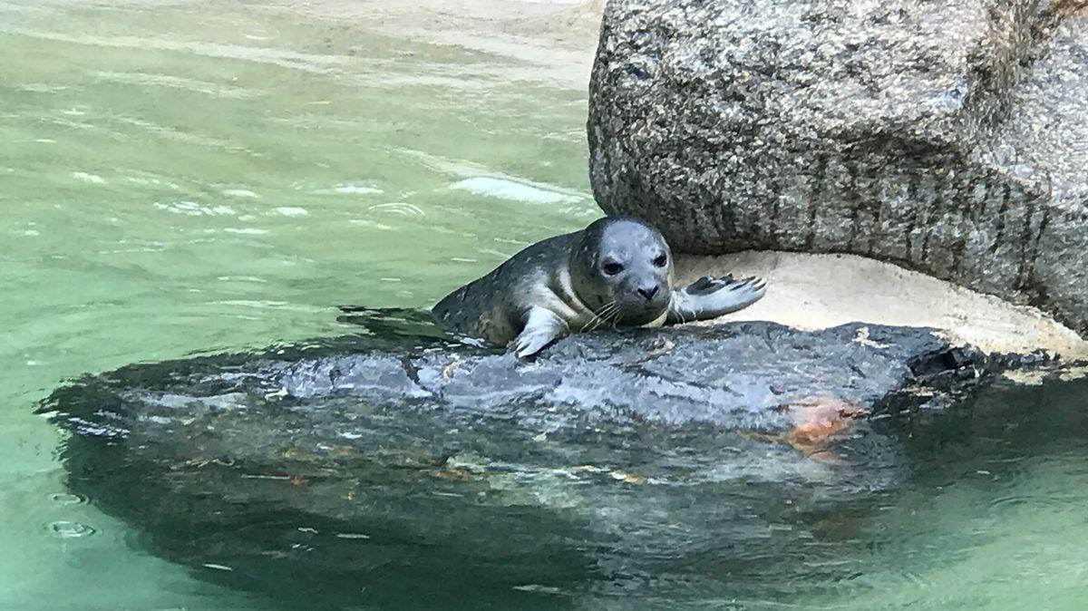 Der neue Seehundnachwuchs im Augsburger Zoo