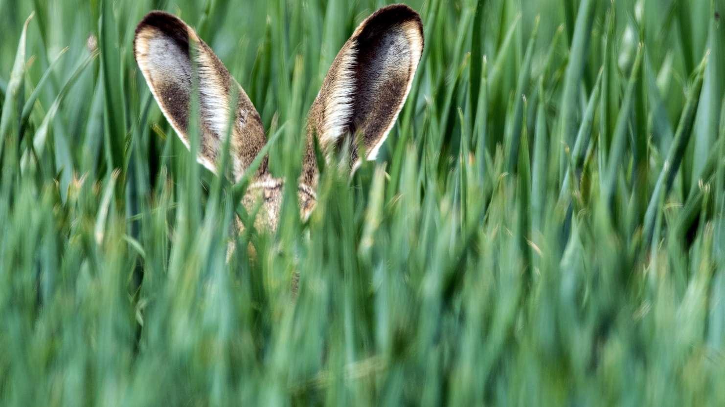 Ein Feldhase versteckt sich im Gras.