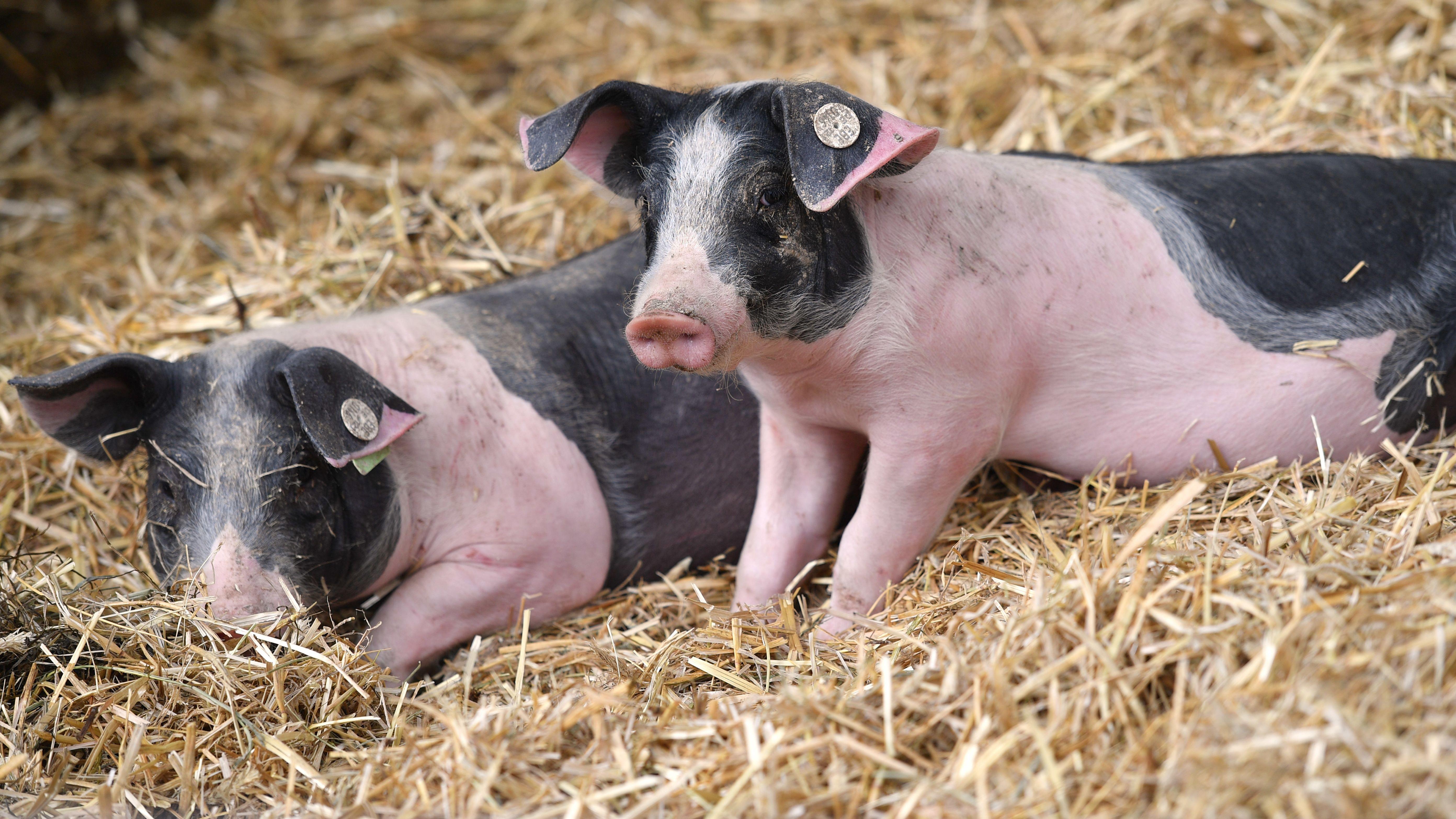Schweine auf dem Gelände der Herrmannsdorfer Landwerkstätten, einem Bio-Bauernhof südlich von München