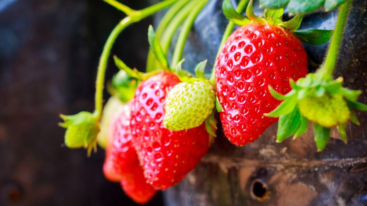 Hängende Erdberren in einem Topf