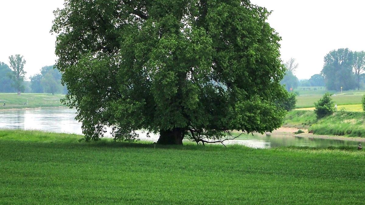 Die Flatter-Ulme ist Baum des Jahres 2019.