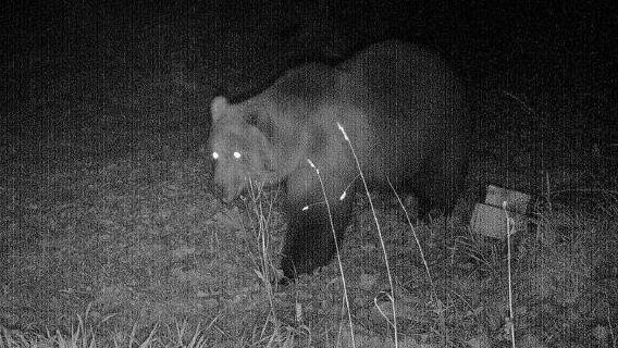 Foto des Bären aus der Wildtierkamera