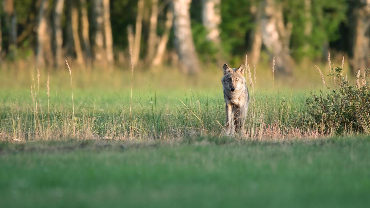 Ein Wolf steht auf einer Wiese.