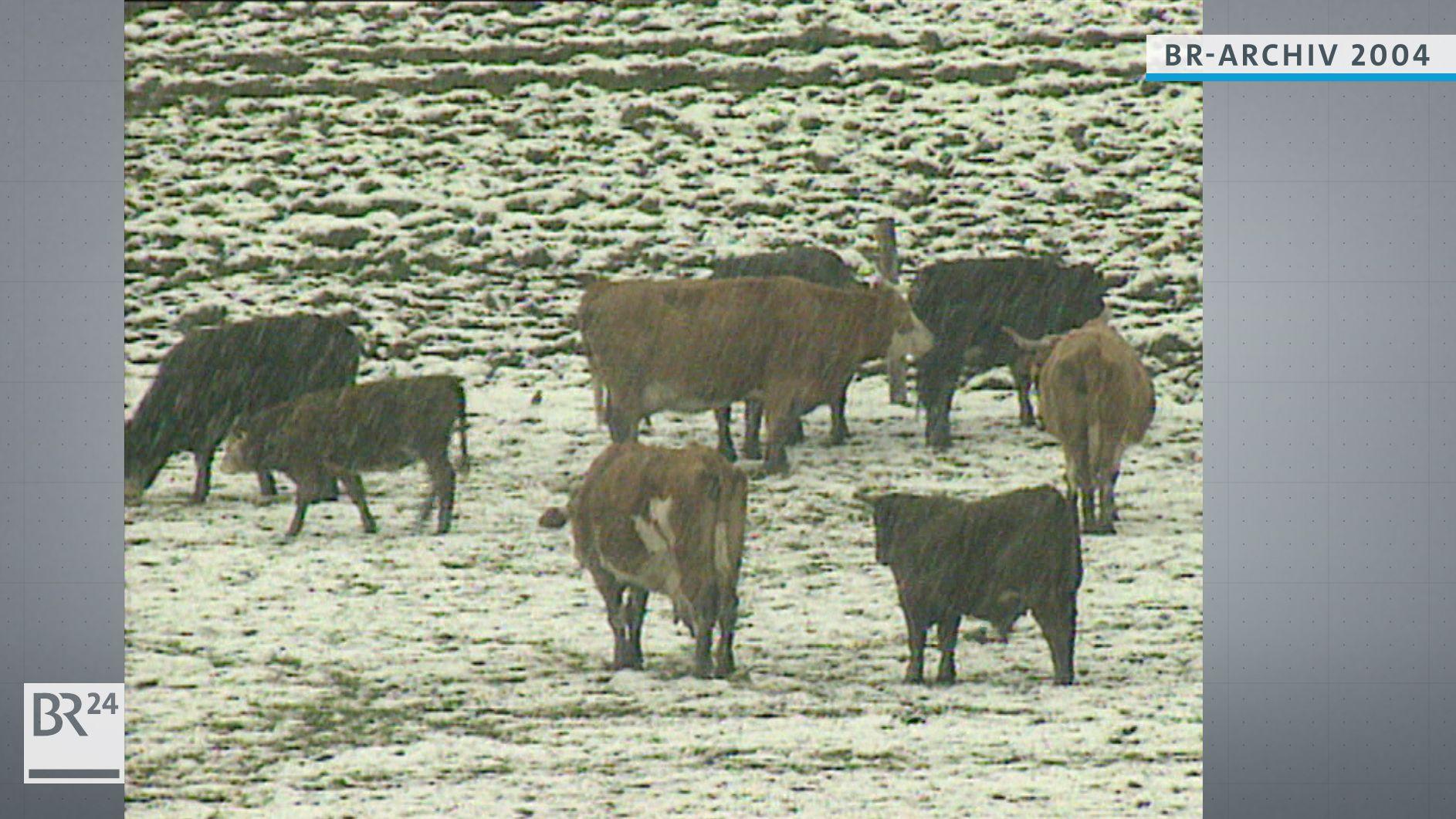 Rinder auf eikner eingeschneiten Weide im Mai während der Eisheiligen