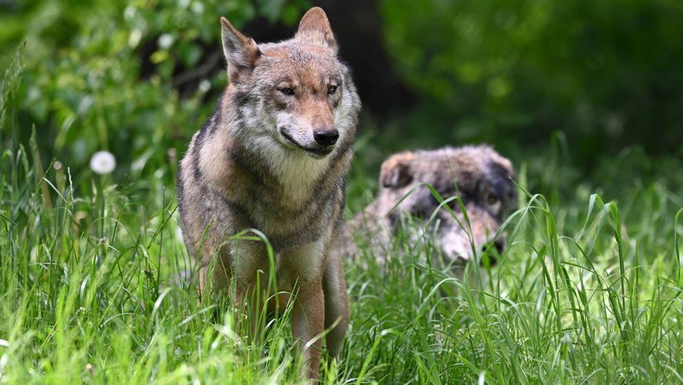Weil die Tiere so mobil sind, können mittlerweile praktisch  überall im Freistaat Wölfe beobachtet werden. | Bild:picture alliance/Carsten Rehder/dpa