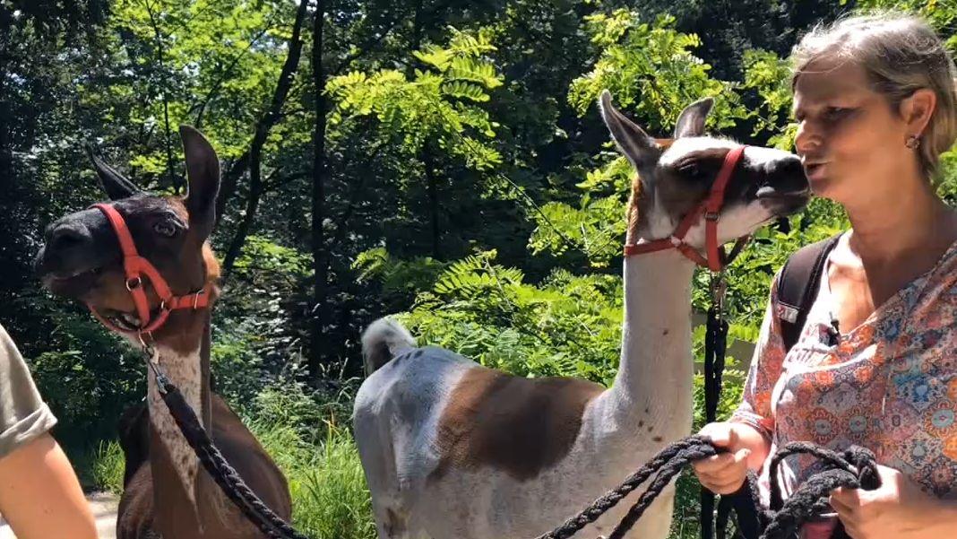 Gassi gehen mit Lamas.