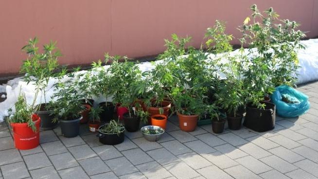 Die beschlagnahmten Marihuanapflanzen in Eimern, Blumentöpfen und Plastiktüten