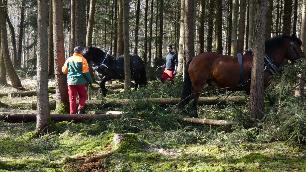 Forstarbeiter und Pferde im Donauwörther Stadtwald