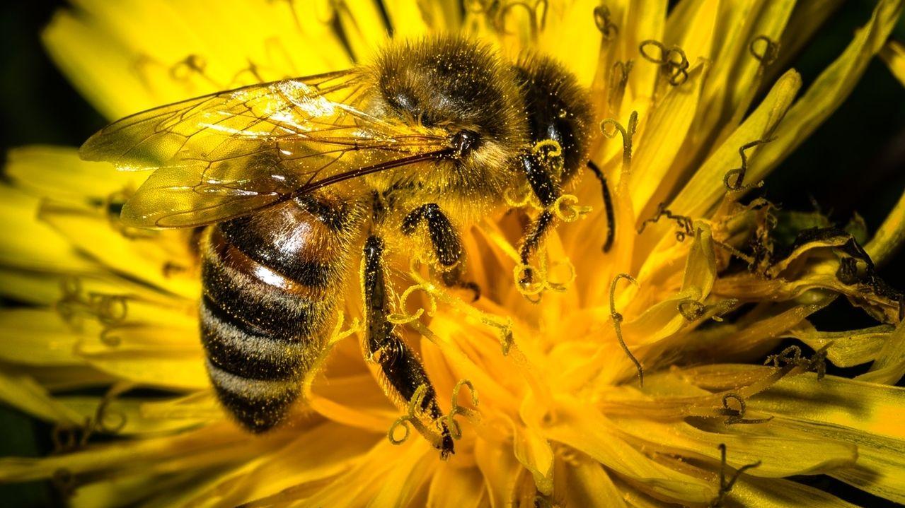 Eine mit Blütenpollen bedeckte Biene sitzt auf einer Löwenzahnblüte.