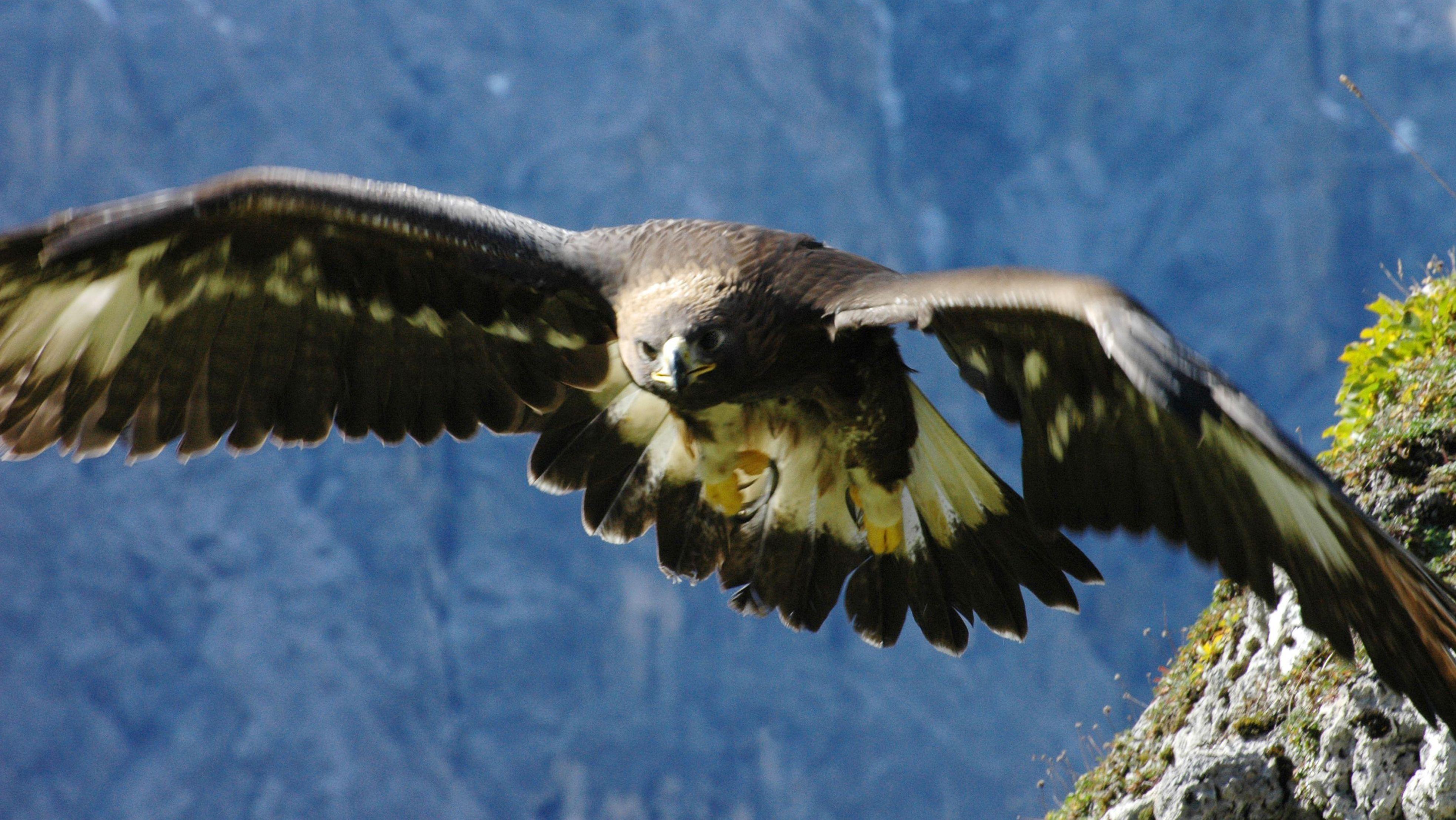 Der Adler ist ein geschützter Raubvogel (Symbolbild)