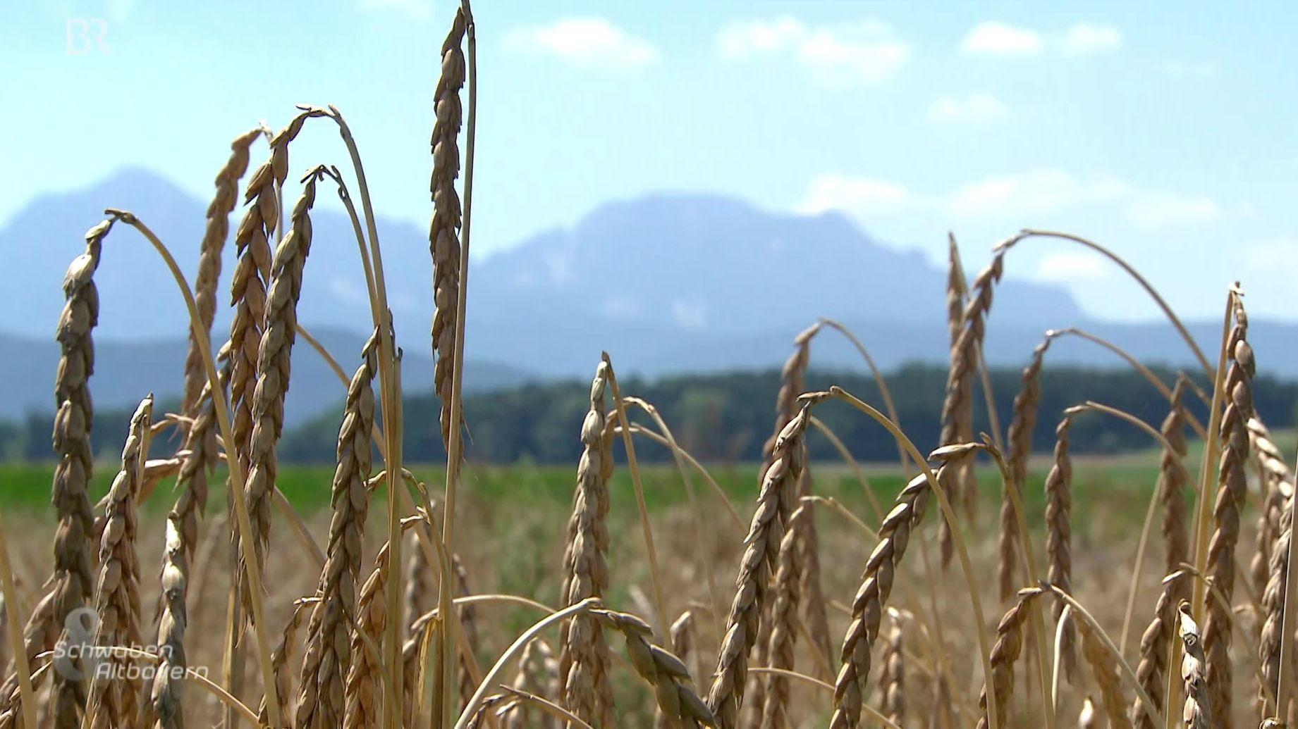 Fast vergessene Getreidesorten