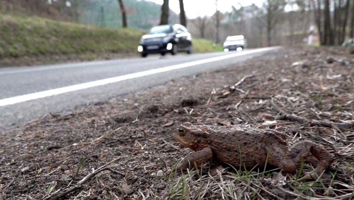 Eine Kröte sitzt an einem Straßenrand, im Hintergrund nahen Autos.