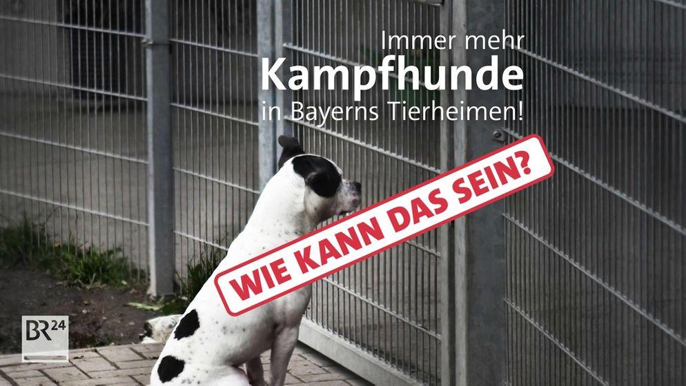 Warum landen immer mehr Kampfhunde in Bayerns Tierheimen? | Bild:BR24
