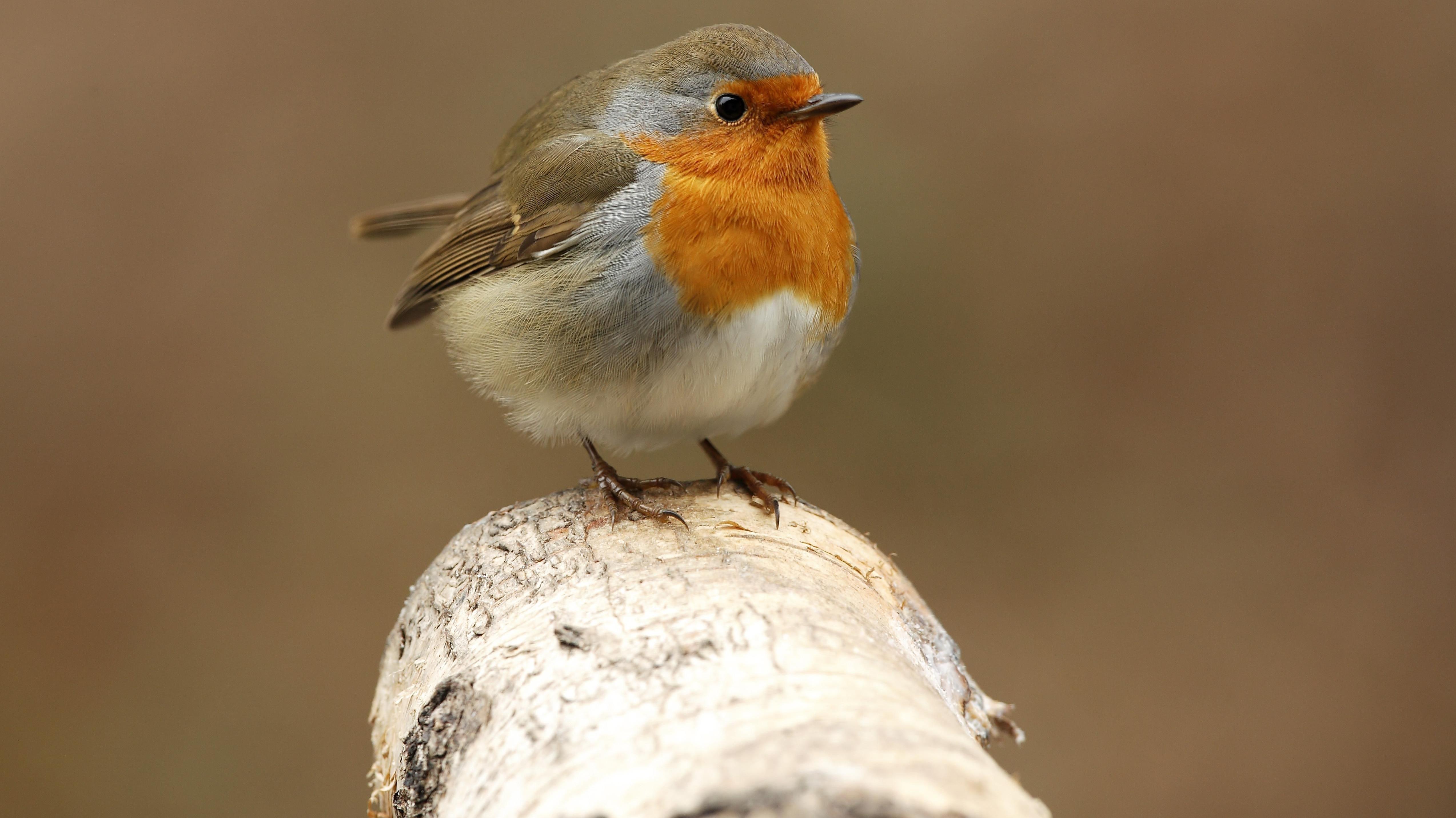Das Rotkehlchen gehört zu den bekanntesten heimischen Vogelarten