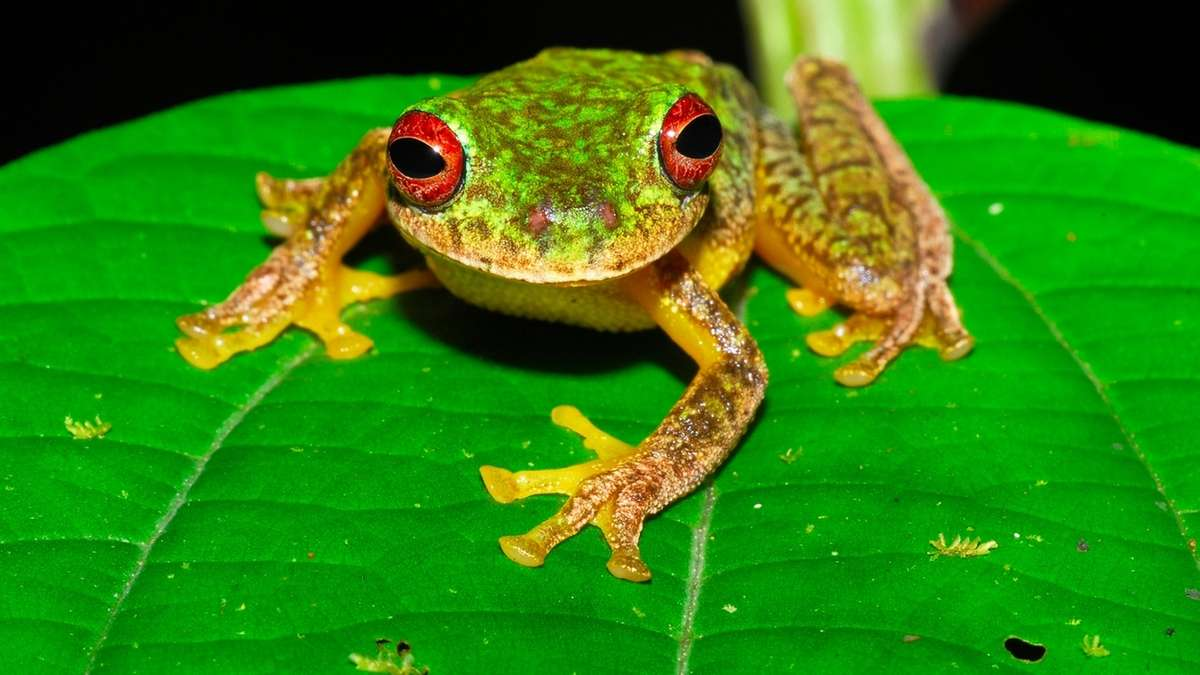 Ein Mossy-Red-Eyed-Frosch (Duellmanohyla soralia) in Honduras. Die aggressive Pilzerkrankung Chytridiomykose hat innerhalb von 50 Jahren die Bestände von mehr als 500 Amphibienarten rund um den Globus dezimiert.