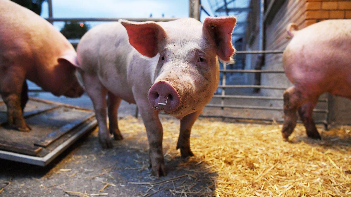 Haben die Schweine ein Gewicht von 120 Kilo erreicht, werden sie geschlachtet.