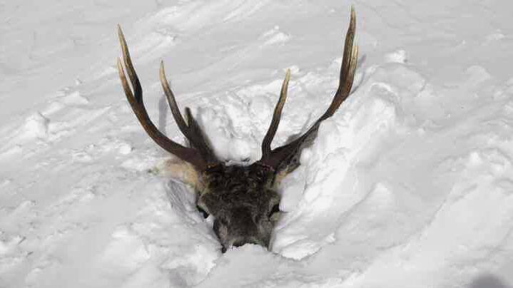 Im Schnee gefangener Hirsch