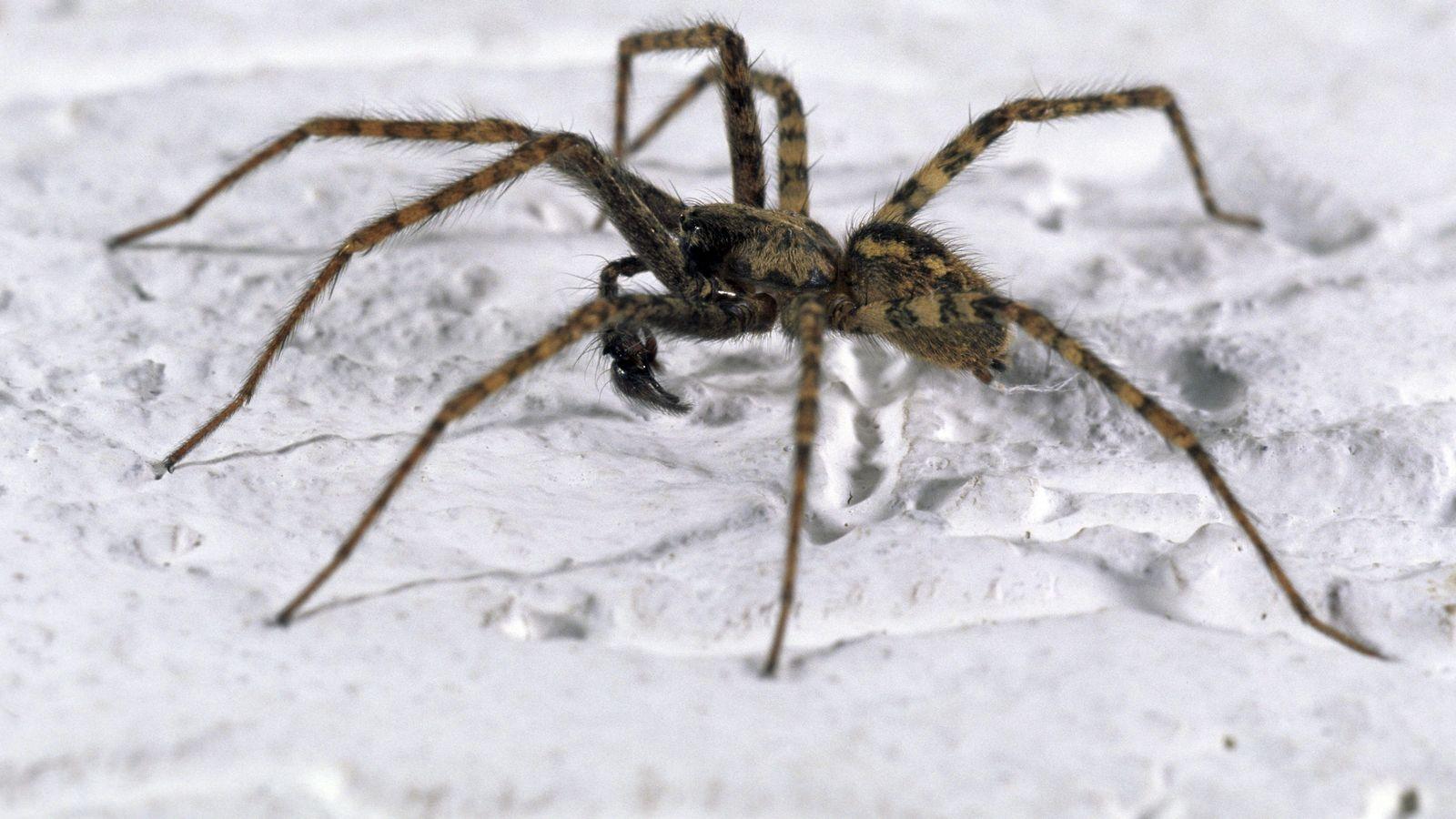 Bitte nicht töten! Spinnen kommen jetzt ins Haus