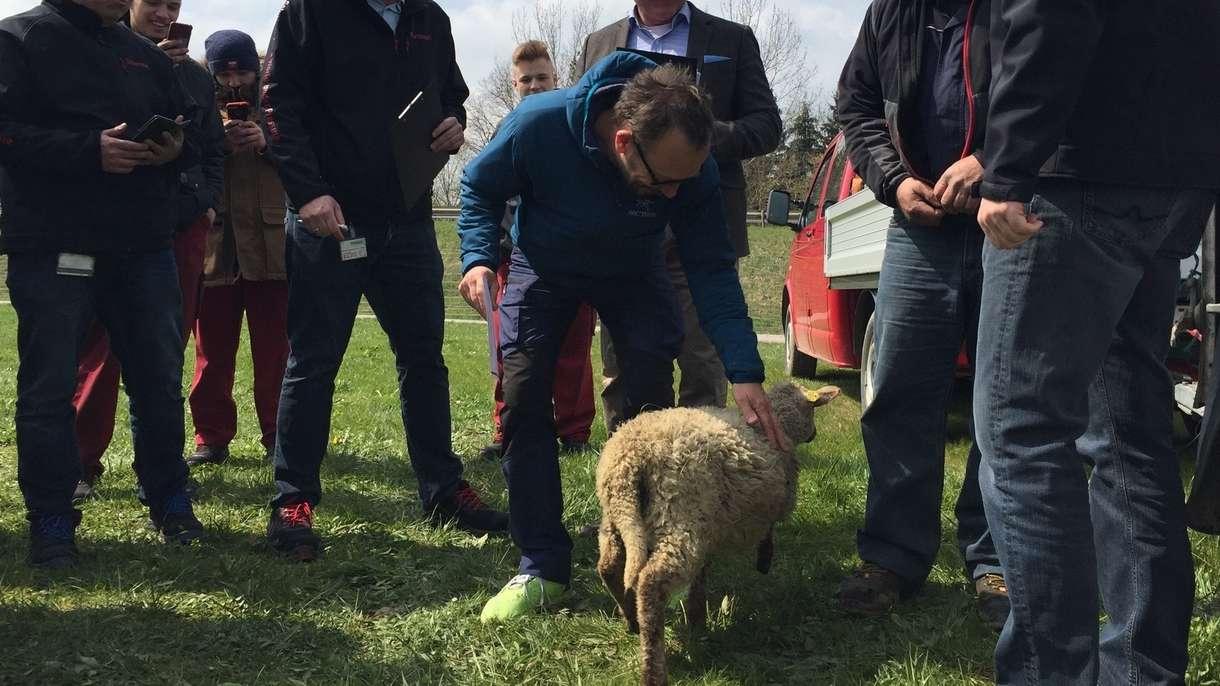 Schafe vor dem Werk: Die Bio-Rasenmäher von HAWE in Kaufbeuren