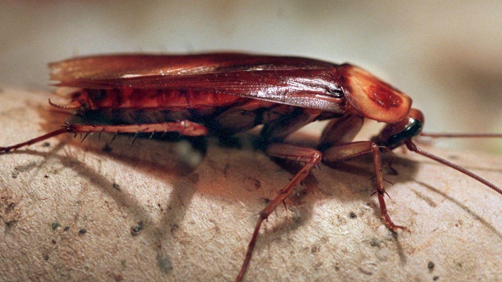 Krankmachende Kakerlaken: Insekten der Superlative   BR24