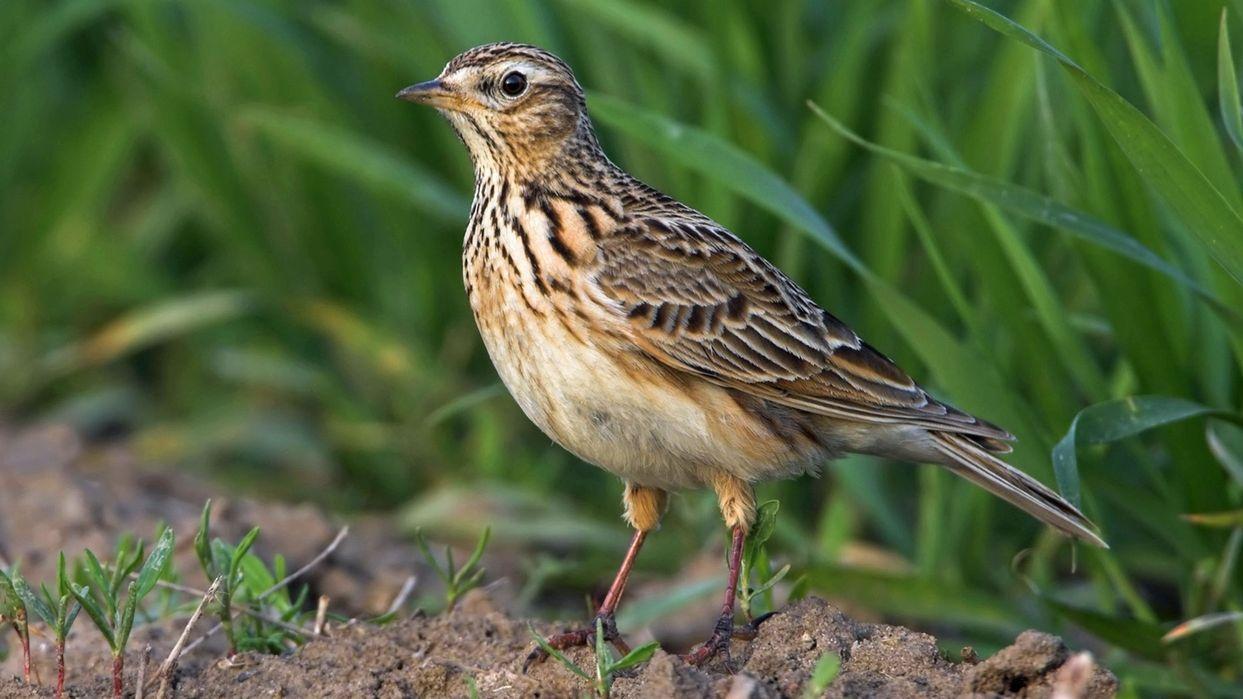 Singvögel verschwinden: Feldlerche