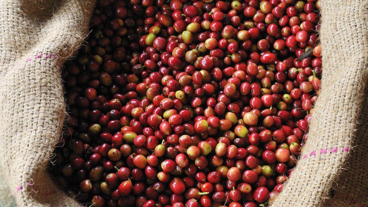 Reife Kaffeebohnen liegen in einem Sack