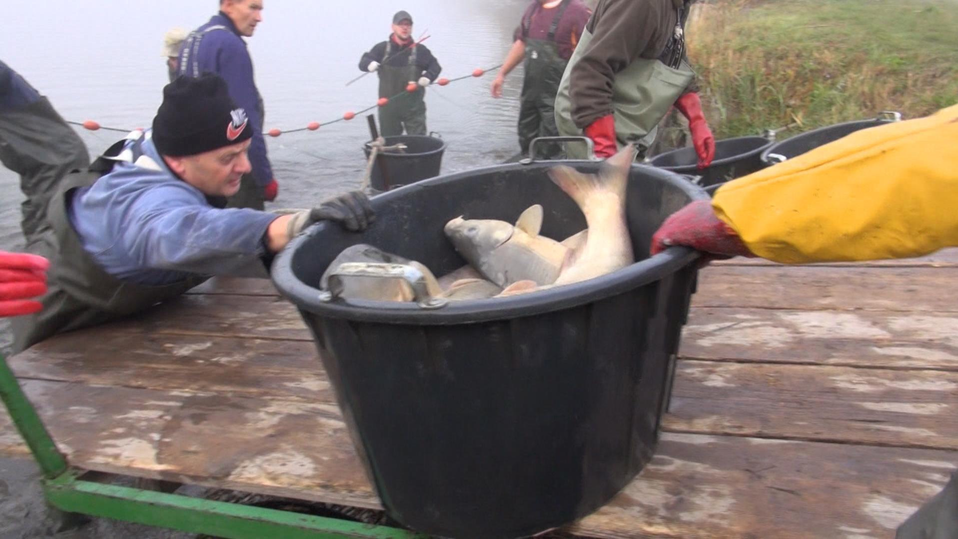 Mehrere Männer beim Abfischen eines Teichs. Ein Mann reicht einer anderen Person einen Eimer mit Fischen darin.